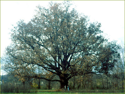 10 Common Missouri Trees, Their Characteristics and General